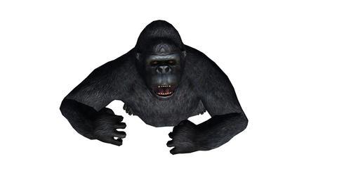 Chimp & Chimpanzee pounding chest show... Stock Video Footage
