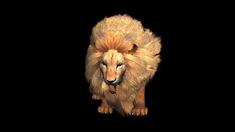 Lion attack bite eating,Endangered wild animal wildlife Live Action