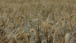 Covered Barley Grains Pan Left 25fps stock footage