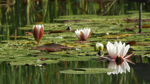 Lotus Flower stock footage
