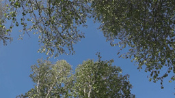Tops of the trees against the blue sky Stock Video Footage