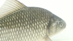 Large Crucian Carp stock footage