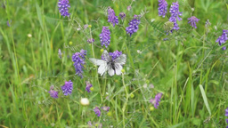 White butterflies on meadow flowers Stock Video Footage