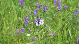White butterflies on meadow flowers Footage