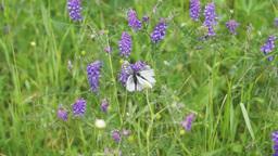 White butterflies on meadow flowers Footage
