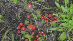 Wild Strawberry Falling On The Ground stock footage