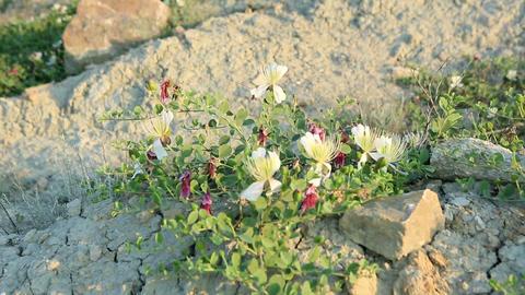 Flowering capers in the wind. Feodosiya. Crimea. R Footage
