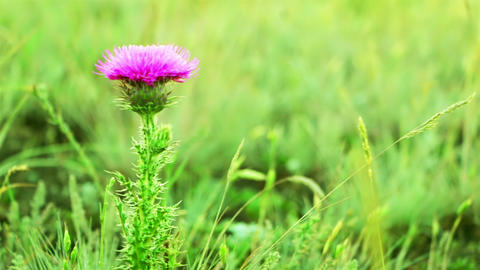Prairie Grass And Thistle stock footage