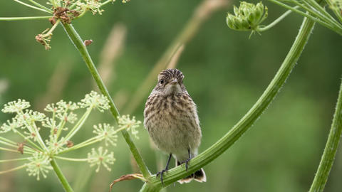 Fledgling stonechat 2 Stock Video Footage