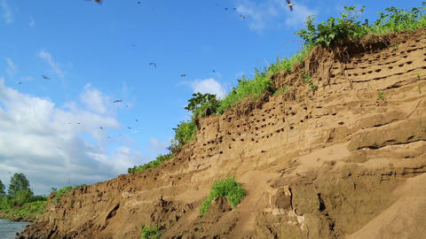 colony of swallows on steep bank of river Stock Video Footage