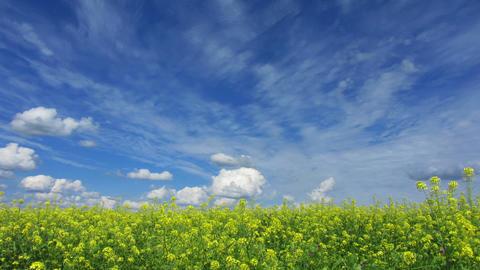 beautiful flowering rapeseed field under blue sky  Footage