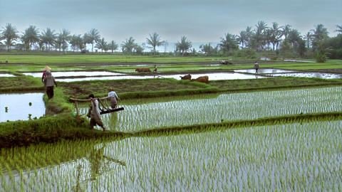 working on rice fields wide Stock Video Footage