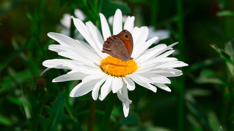 Butterflies on chamomile Footage