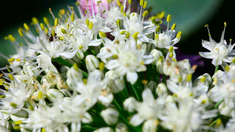 Ant in the onion flower Stock Video Footage