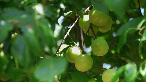 Fresh green plum fruit hanging on tree - Agriculture - Farm Stock Video Footage