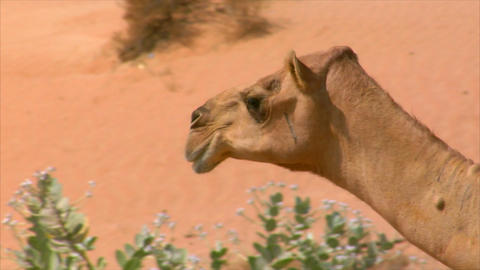 camel walk and look Stock Video Footage
