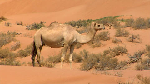 camel watch and run Stock Video Footage