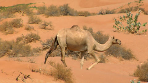 camel watch and run Footage