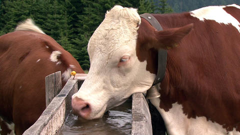 austrian cow drink water Stock Video Footage