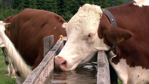 austrian cow drink water Stock Video Footage