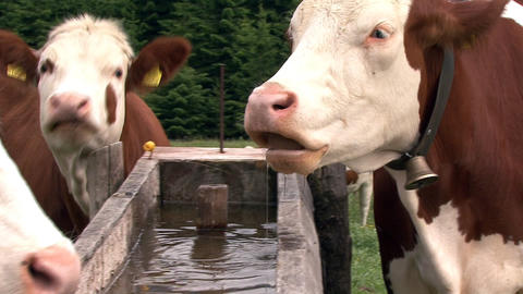austrian cow drink water Footage