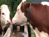 Austrian Cow Drink Water stock footage