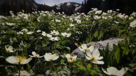 (1203) Colorado Rocky Mountains Alpine Meadow Wildflowers... Stock Video Footage