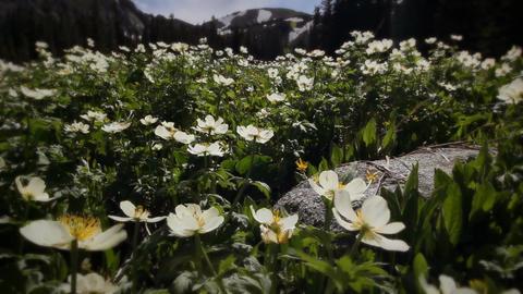 (1203) Colorado Rocky Mountains Alpine Meadow Wildflowers... Stock Video Footage