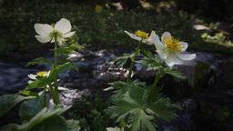 (1213s) Colorado Rocky Mountains Alpine Wildflowers... Stock Video Footage