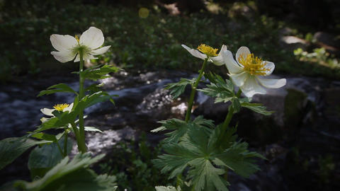 (1213s) Colorado Rocky Mountains Alpine Wildflowers... Stock Video Footage