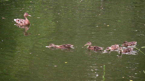 family ducks Stock Video Footage