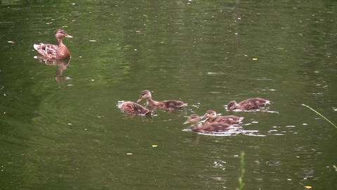 family ducks Footage