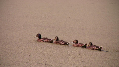 Ducks and one Stock Video Footage