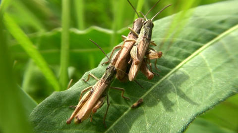 grasshoppers Footage