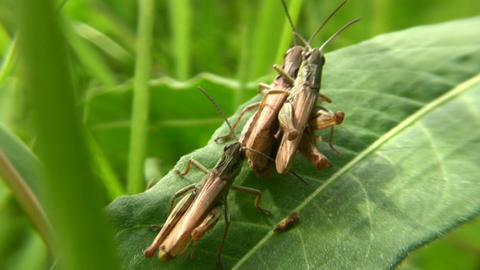grasshoppers Stock Video Footage