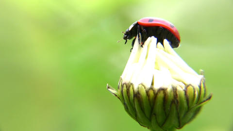 lady bug 2 Stock Video Footage