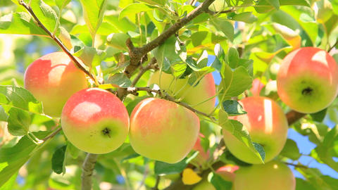 Harvest Apples stock footage