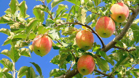 Red Delicious Apples stock footage