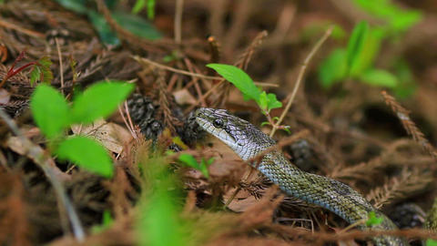A Japanese Rat Snake stock footage
