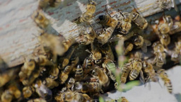 Many bees near an entrance to the hive Stock Video Footage