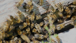 Many bees near an entrance to the hive Footage