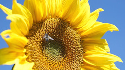 Yellow sunflower Stock Video Footage