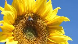 Yellow sunflower Footage