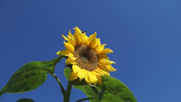 Bright yellow sunflower against blue sky 영상물