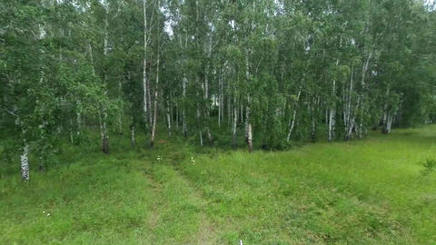 Flying over the birch forest in summer Footage