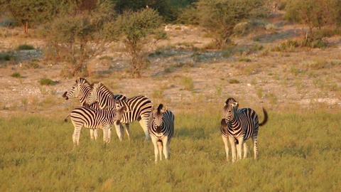 Plains Zebra interaction Stock Video Footage