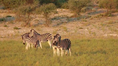 Plains Zebra interaction Footage