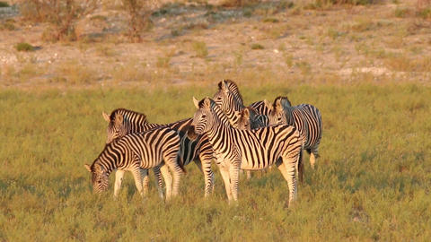 Plains Zebras walking Footage