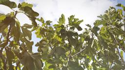 Fig tree light leak Stock Video Footage