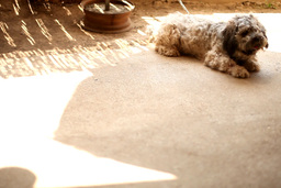 Dog ( Tibetan Terrier ) Cooling Himself stock footage